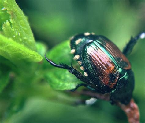 Small Kitchen Spaces Ideas - controlling japanese beetles in the garden