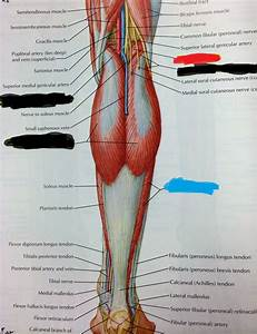 Posterior Abdominal Wall And Lower Limb
