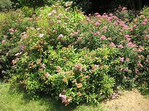 How To Plant A Spirea Bush