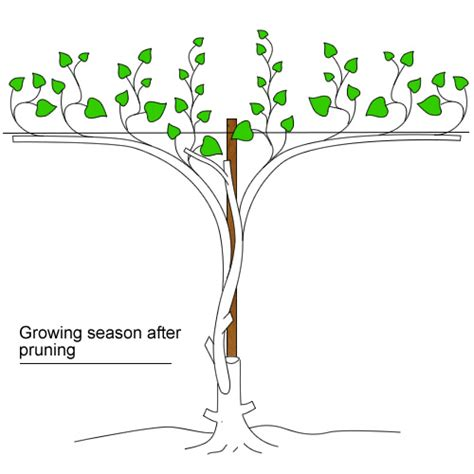 grape vines pruning when to do it and how pruning grape vines