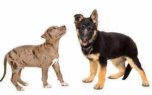 Your Complete German Shepherd Pitbull Mix Breed Guide