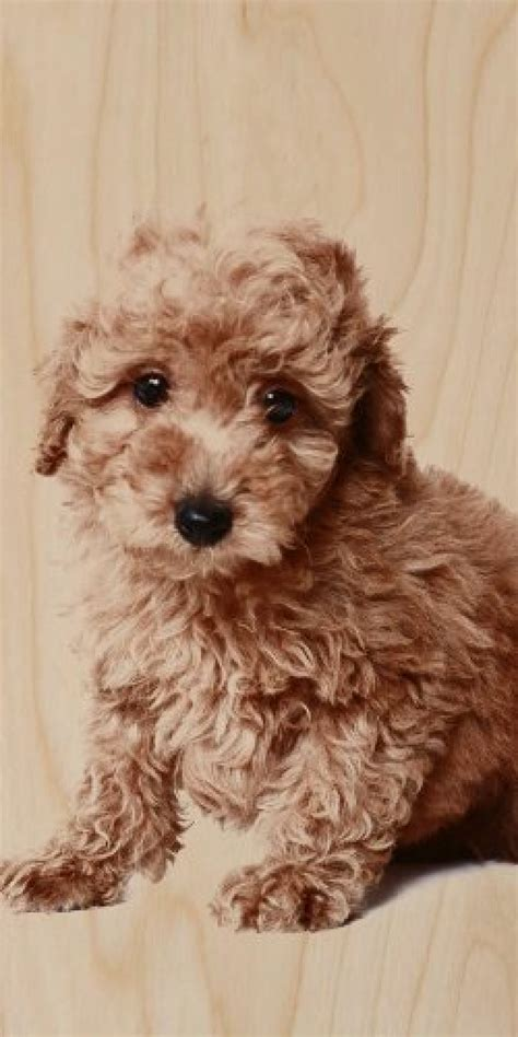 cute puppy dog brown curly hair poodle plywood wood