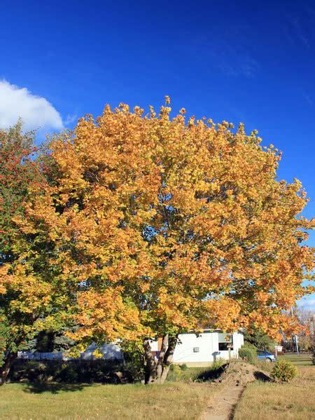 norway maple  sale treetimeca