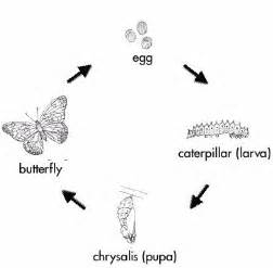 pupa butterfly cycle cycles lesson www teachengineering org
