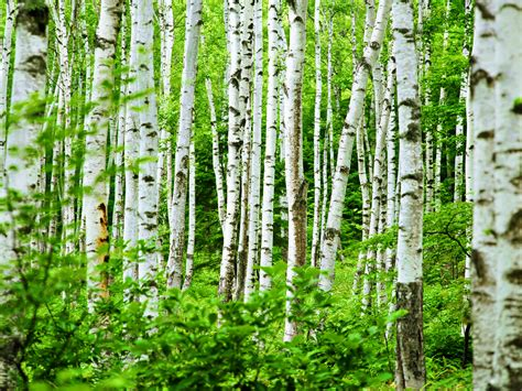 birch forest tall birch kittiekraft
