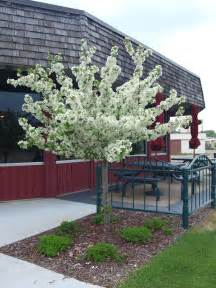 small ornamental trees archives knecht 39 s nurseries landscaping