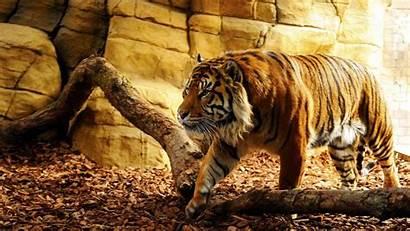 Tiger Tigre Wallpapers Tigers