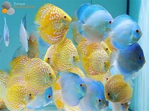 Best 25+ Discus ideas on Pinterest   Discus fish, Discus ...