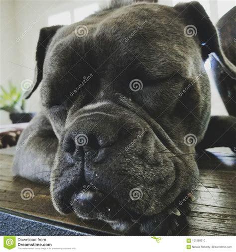 Smooch-1 arkivfoto. Bild av bulldogging, medf8ort - 101580610