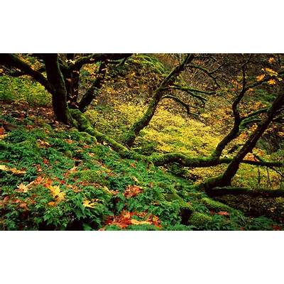 Big Leaf Maple and Ferns in Autumn Columbia River Gorge