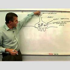 Parts Of The Neuromuscular Junctionwmv Youtube