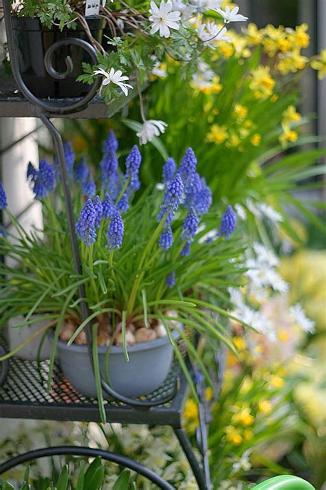 growing muscari  containers longfield gardens