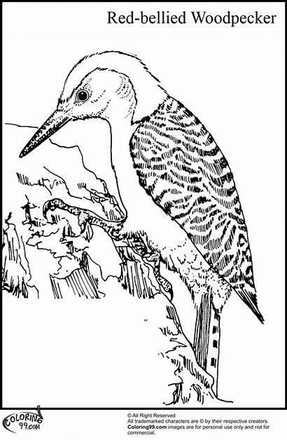 Woodpecker Coloring Bellied Bird Cartoon Cardinal Birds