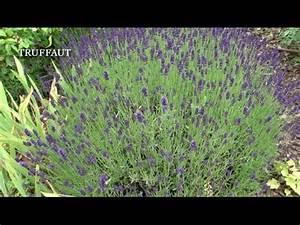 Culture De La Lavande : la culture de la lavande papillon jardinerie truffaut tv youtube ~ Melissatoandfro.com Idées de Décoration