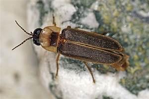 Großer Schwarzer Käfer Bilder : lampyris noctiluca gro er leuchtk fer gro es gl hw rmchen leuchtk fer lampyridae ~ Frokenaadalensverden.com Haus und Dekorationen