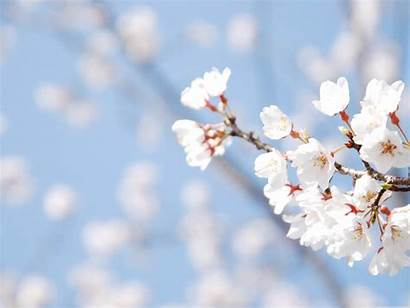 Blossom Cherry Desktop Spring Wallpapers Background Flowers