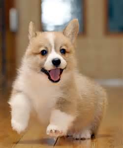 子犬:カテゴリー: コーギー子犬情報 ...
