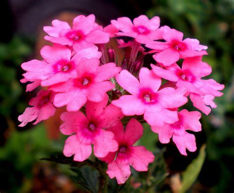 verbena flower verbena flowers pictures meanings lemon verbena flower