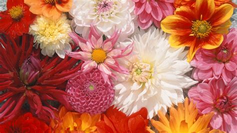 full hd wallpaper dahlia peonies bouquet variegated close