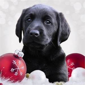 I Love Christmas Black Lab Puppy Holiday Dogs Labrador ...