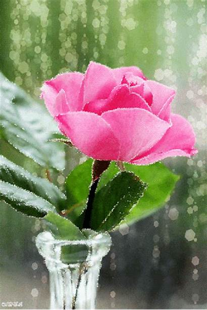 Gifs Rose Roses Animation Pink Flowers Peace