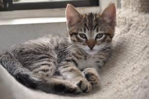tabby cat breeds tabby cat cat breed profile
