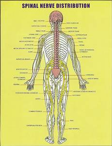 All About The Spinal Cord  Spinal Nerve Distribution Chart
