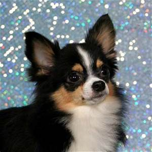 Cute Dogs: Long Haired Chihuahua Dogs