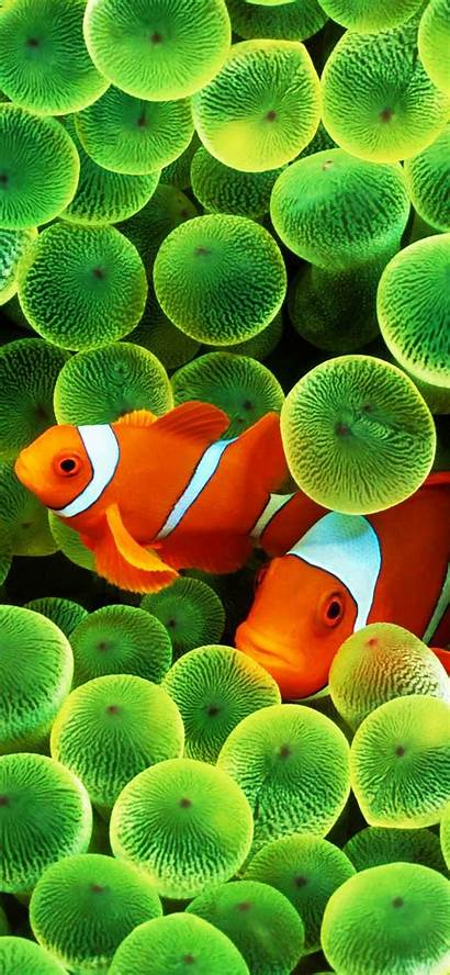 Fish Iphone Clown Wallpapers Clownfish 4k Background