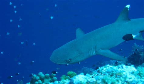 white tipped reef shark facts diet habitat information