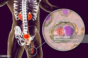 Male Reproductive Organ Stock Illustrations And Cartoons