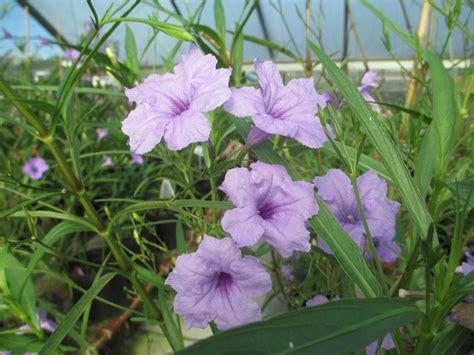 when to plant petunias growing mexican petunias hgtv