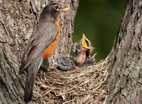 if you touch a baby bird will its mother really abandon
