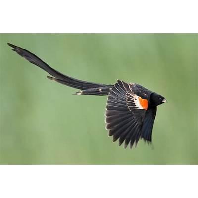 Long-tailed WidowbirdBirdsPinterestThe o'jays