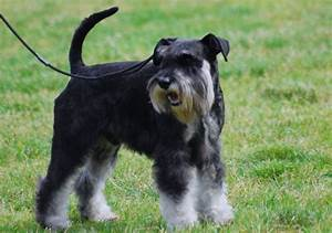 Black and silver Miniature Schnauzer - My Doggy Rocks