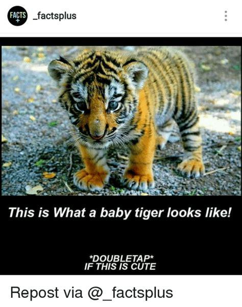Tiger Meme 25 Best Memes About Baby Tiger Baby Tiger Memes