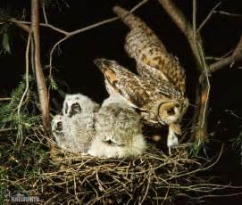 Long-Eared Owl Babies