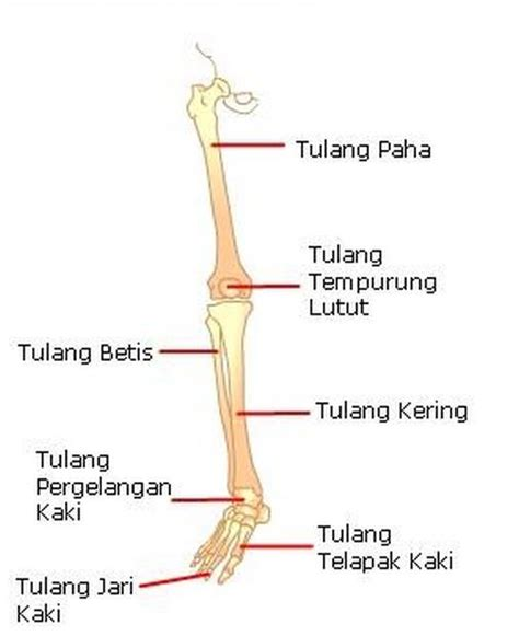 gambar tulang kaki daunbuah com