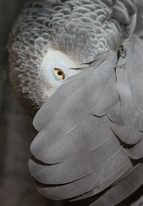 fileafrican grey parrot peeking     wing
