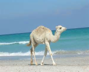 sprüche toleranz die besten 17 ideen zu kamel auf gepardenmuster druck indien und mäntel