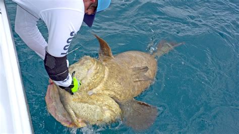goliath fish fishing groupers blacktiph bums