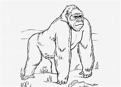Gorille Dessin Coloring Ape Animal Coloriage Printable