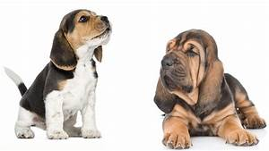 Beagle Bloodhound Mix - Our Guide to this Intriguing Cross ...