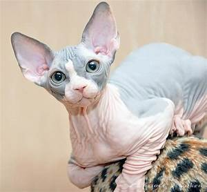 three things about Sphynx cats | edGod_aNiMaL