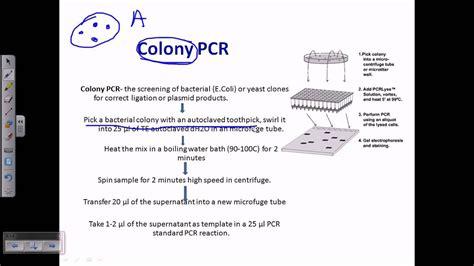 colony pcr youtube