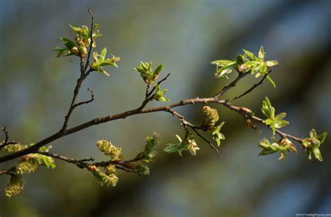 tree with buds hornbeam buds