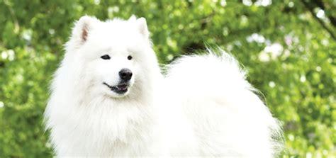 The Samoyed Modern Dog Magazine