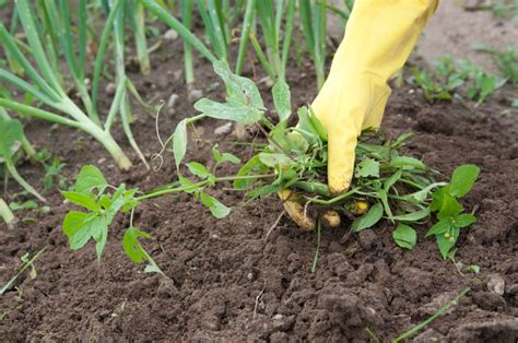 garden weeds   effective ways   rid