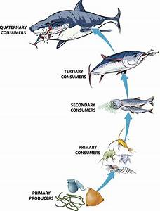 Ocean Food Chain Diagram