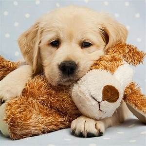 Goldens and their babies...so sweet. | Песики* | Pinterest ...